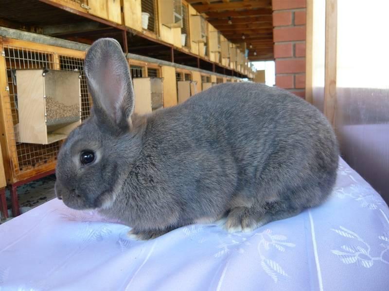 Описание, разведение и уход за венскими голубыми кроликами. венский голубой кролик: продуктивная характеристика с фото