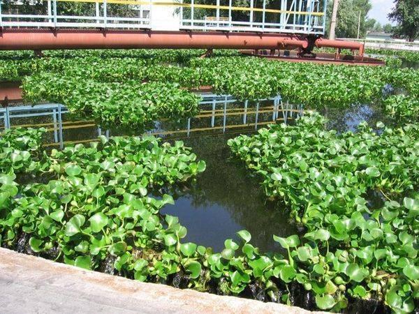 Эйхорния: водяной гиацинт из южной америки