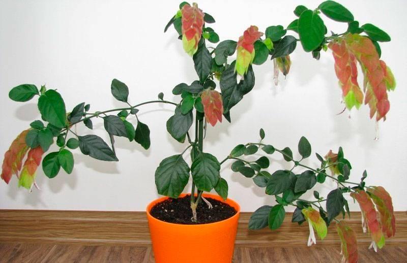 Белопероне: размножение цветка и уход в домашних условиях, описание сортов и фото, капельная, вариегатное, руж, пёстролистная