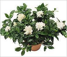 Гардения жасминовидная (47 фото): уход за комнатным цветком в домашних условиях. почему чернеют листья у растения? пересадка и размножение черенками