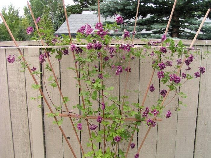 """Клематис """"пурпуреа плена элеганс"""": посадка и уход, размножение"""