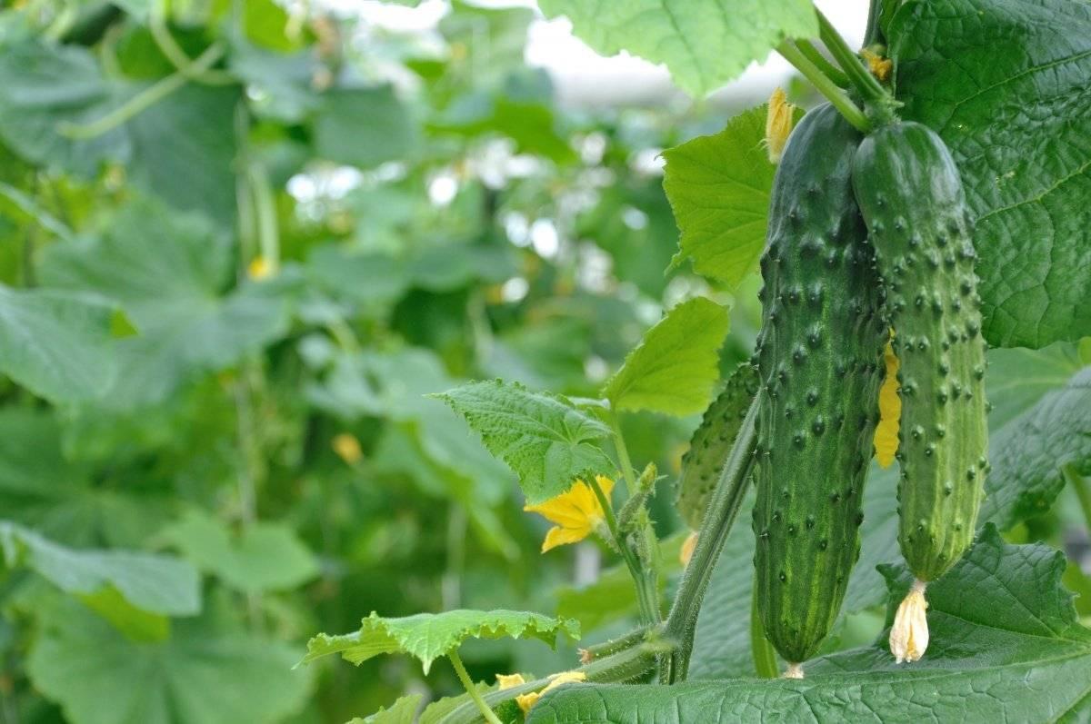 Огурцы в открытом грунте на шпалере | вырасти сад!