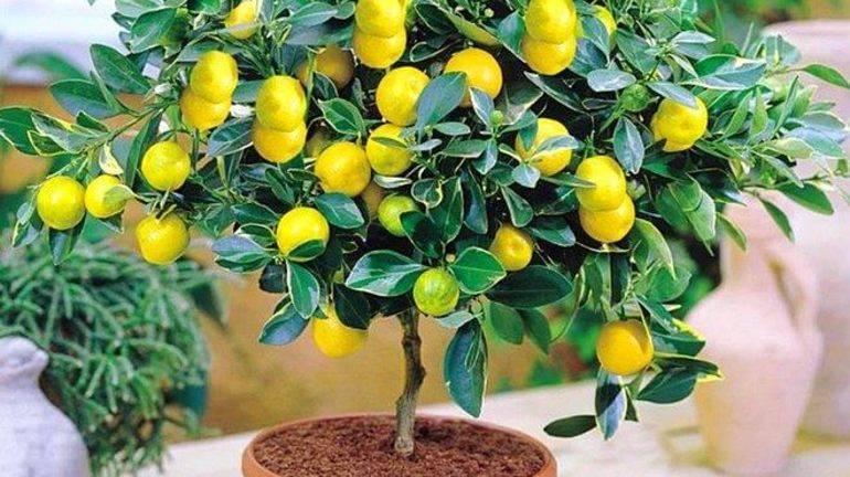 К чему снится лимон? сонник - лимон приснился во сне и что означает?