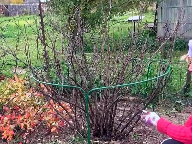 Как обрезать смородину осенью, чтобы был хороший урожай