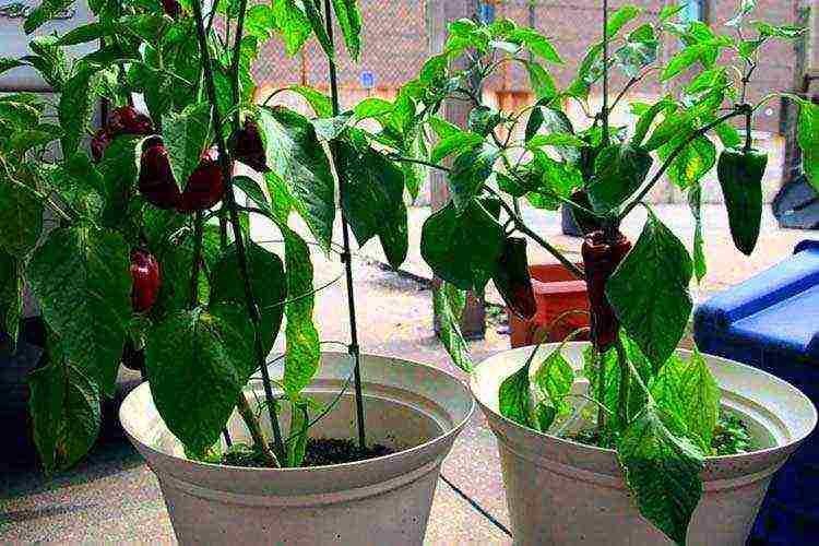 Мини огород на балконе: какие овощи можно вырастить на балконе
