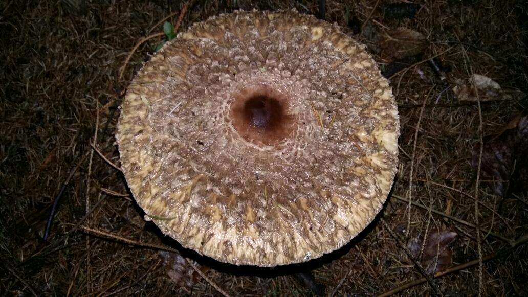 Как выглядят грибы курочки и их описание (+23 фото)