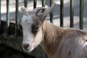 Мастит у коз – виды, признаки и лечение болезни