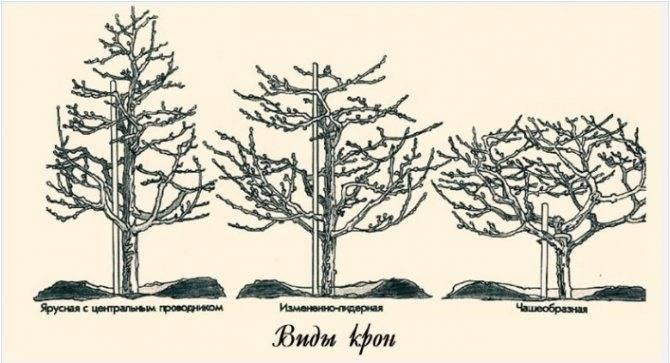 Обрезка вишни осенью для начинающих в картинках: пошагово