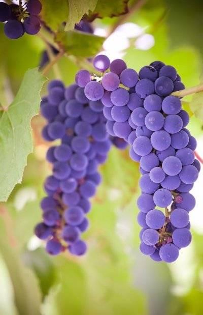 Виноград осенью: обрезка, посадка и уход
