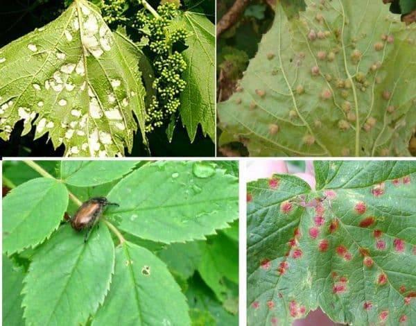 Филлоксера на винограде: причины, меры борьбы, устойчивые сорта, советы садоводов