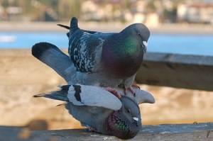 ✅ как спариваются голуби описание анатомического процесса - tehnoyug.com