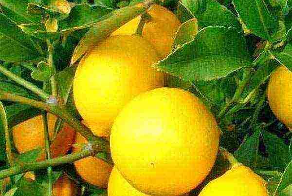 Какой грунт подходит для комнатного лимона?