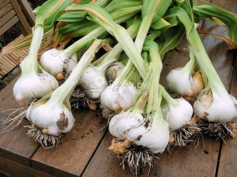 Как подкормить озимый чеснок - совет садовода