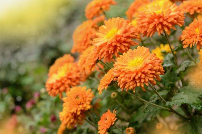 Кустовые хризантемы – фото сортов, посадка и уход за садовыми многолетними цветами