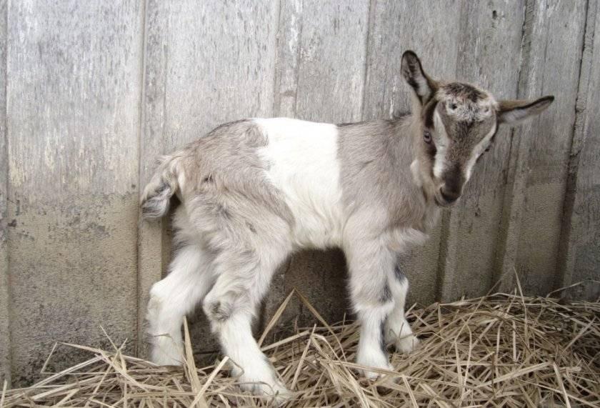 Кличка козы: как можно назвать козу, алфавитный список