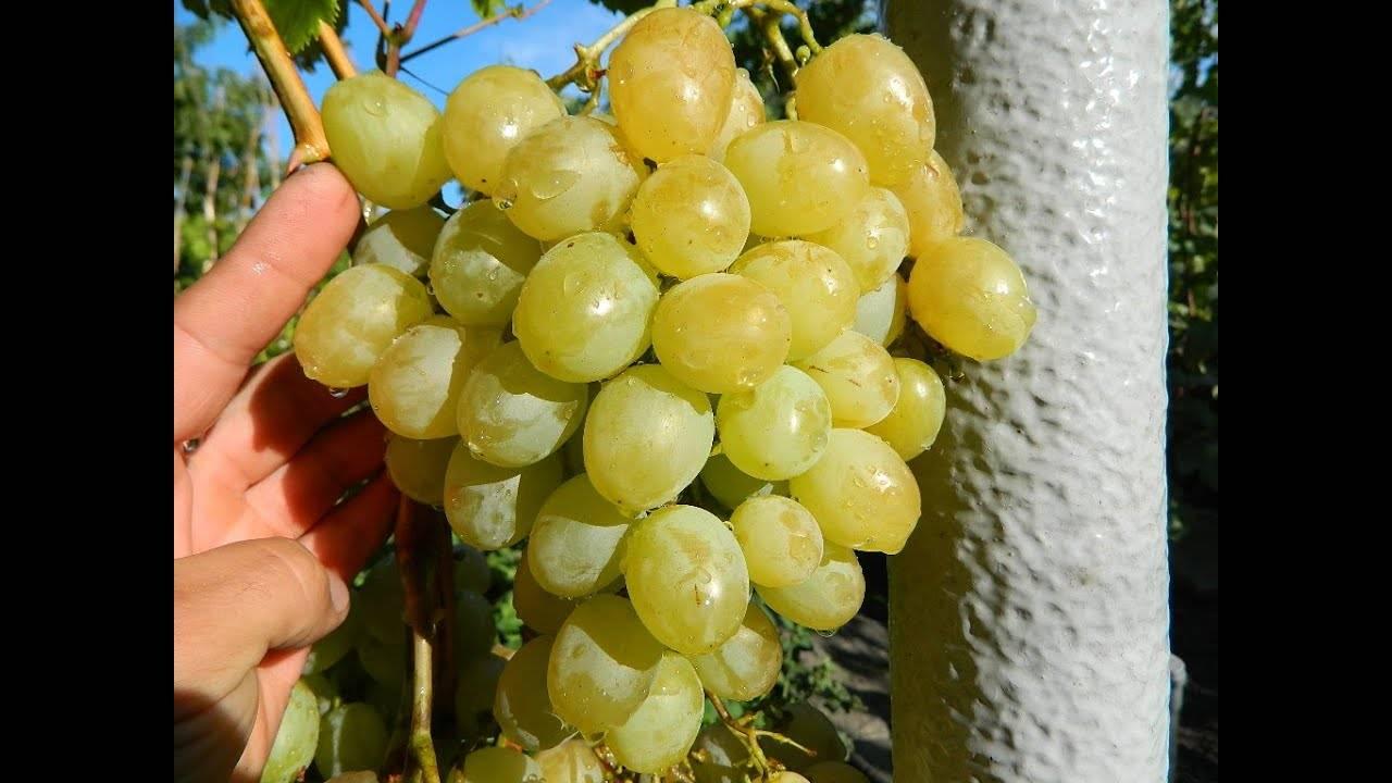 Виноград алекса: описание сорта и его фото, особенности выращивания и характеристики selo.guru — интернет портал о сельском хозяйстве