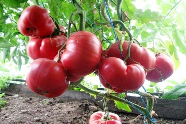 Характеристика сорта томатов Розовое чудо