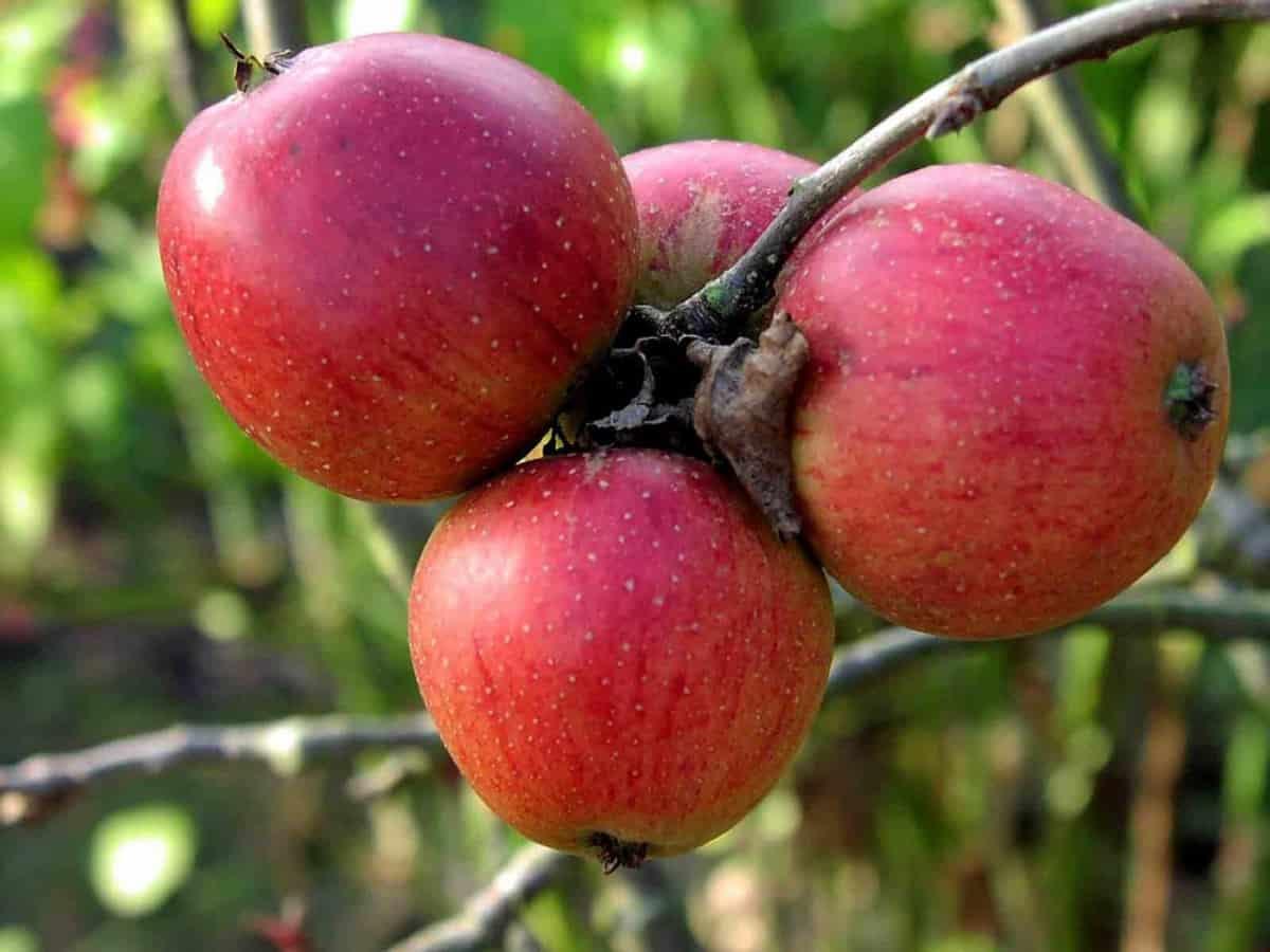 Описание сорта яблони баяна: фото яблок, важные характеристики, урожайность с дерева