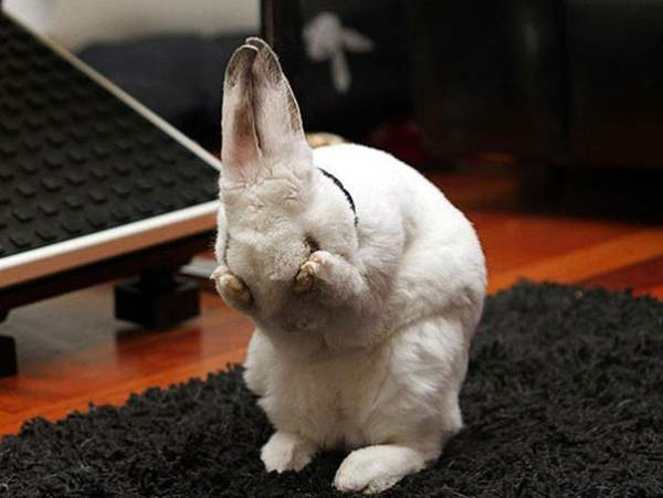 Конъюнктивит у кроликов - чем лечить в домашних условиях, лечение, если гноятся глаза