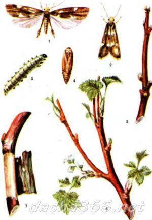 Уход за смородиной осенью и подготовка к зиме: обрезка, подкормка, обработка от болезней и вредителей, мучнистой росы, клеща, грибка