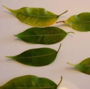 У фикуса бенджамина опадают листья – почему? часть 2