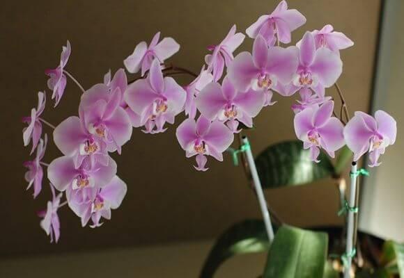 Орхидея фаленопсис в домашних условиях: уход после покупки, выращивание, правила размножения   (110+ фото и видео)