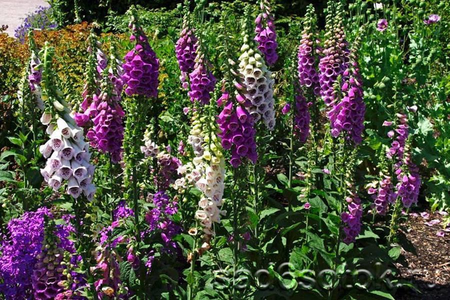 Наперстянка (55 фото): выращивания из семян многолетнего цветка дигиталис. посадка и уход в открытом грунте