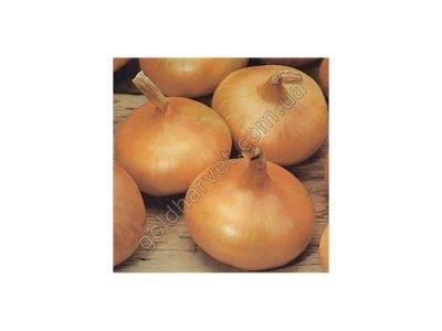Высокоурожайный и устойчивый к холодам сорт лука штутгартер ризен