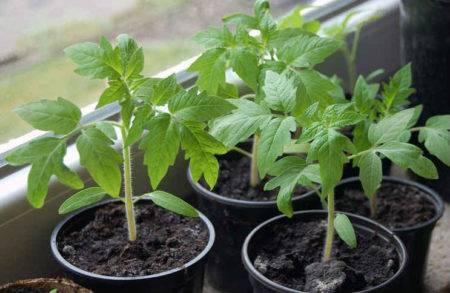 Посадка помидоров в туалетную бумагу: пошаговые способы посева семян дома, фото конечного результата, также как вырастить рассаду томатов без использования земли? русский фермер