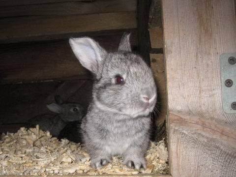 Когда отсаживают крольчат от крольчихи
