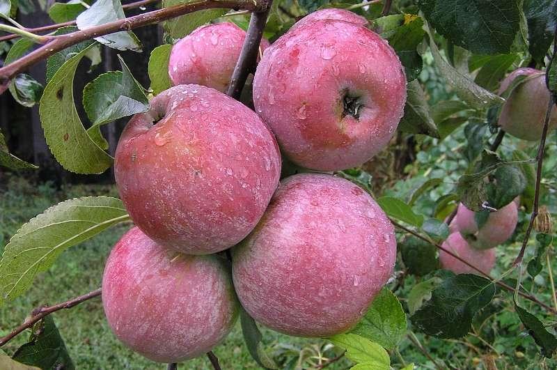 Сорт яблони медуница: описание, отзывы и фото