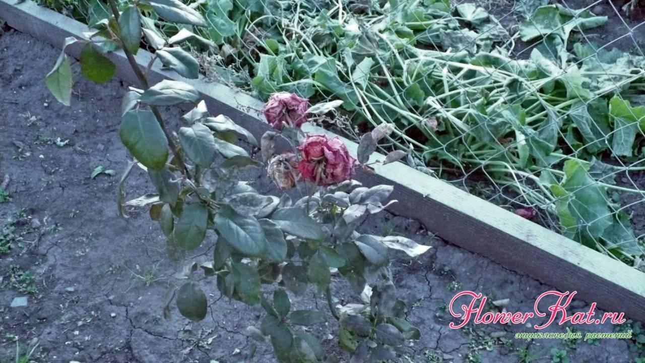 Розы в сибири — как укрыть цветы на зиму | рутвет - найдёт ответ!