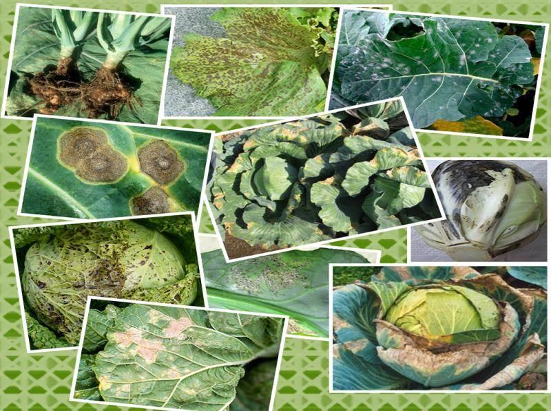 Распространенные болезни капусты. распознавание, профилактика и лечение