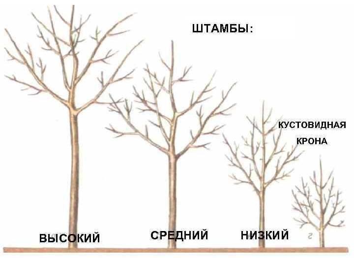 Формирование кроны яблони: основные схемы и важные правила
