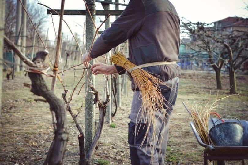 Когда открывать виноград весной: при какой температуре, особенности в подмосковье, средней полосе россии, украине, беларуси, других регионах