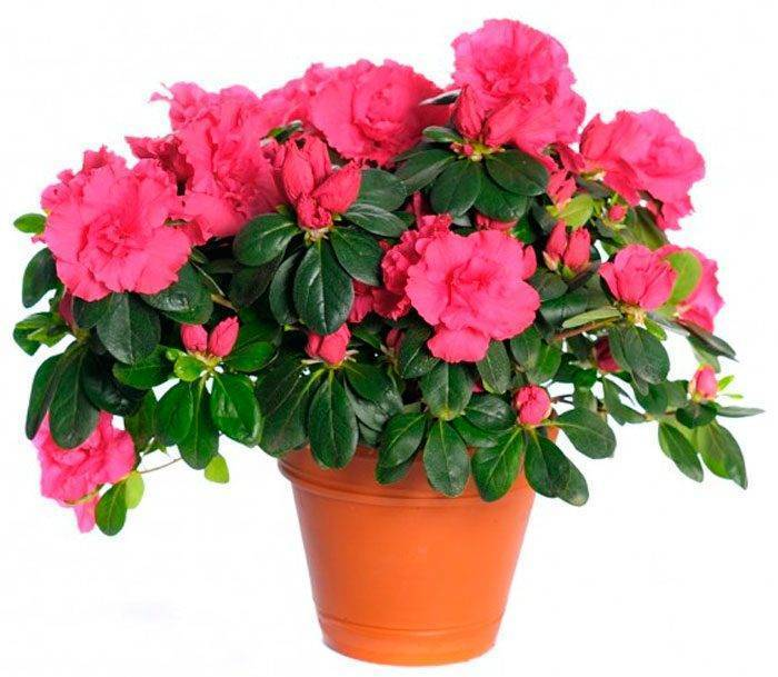 Цветок «Азалия»: описание, фото, уход в домашних условиях
