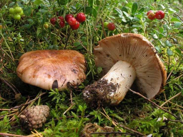 Грибы рядовки - 81 фото одного из самых разнообразных грибов
