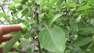 Колоновидные яблони для средней полосы россии: сорта, отзывы