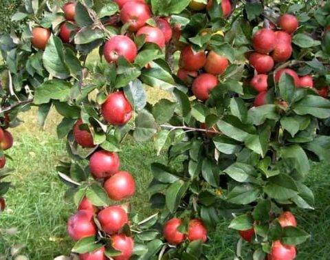 Как правильно и чем подкормить яблоню весной