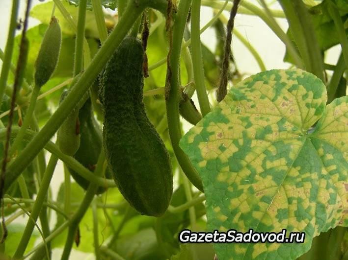 Пероноспороз или ложная мучнистая роса атакует сад: что делать?