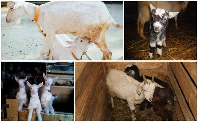 Вымя коровы - особенности ухода и содержания молочных пород (75 фото и видео)