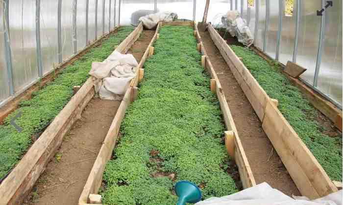 Сухая горчица от вредителей сада и огорода - как применять