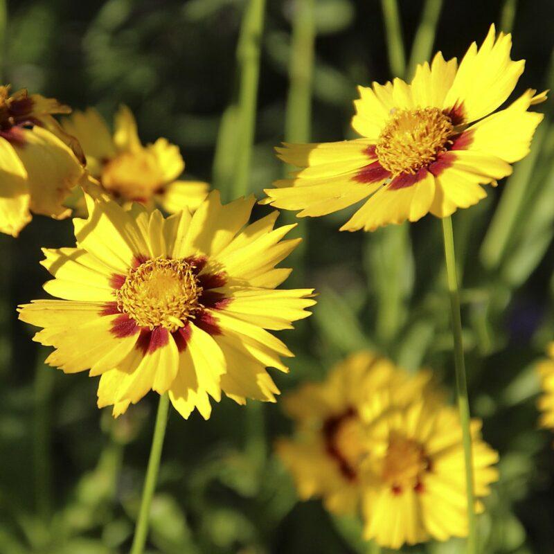 Посадка и уход за мутовчатым, красильным, крупноцветковым видами кореопсиса