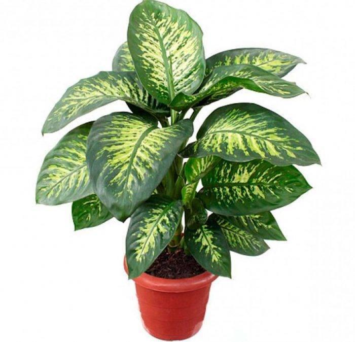 Диффенбахия: фото и уход в домашних условиях. виды и сорта комнатного растения диффенбахия