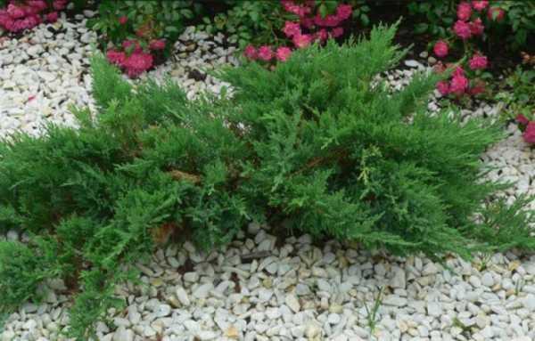 Хвойные растения для сада с фото и названиями: основы выбора