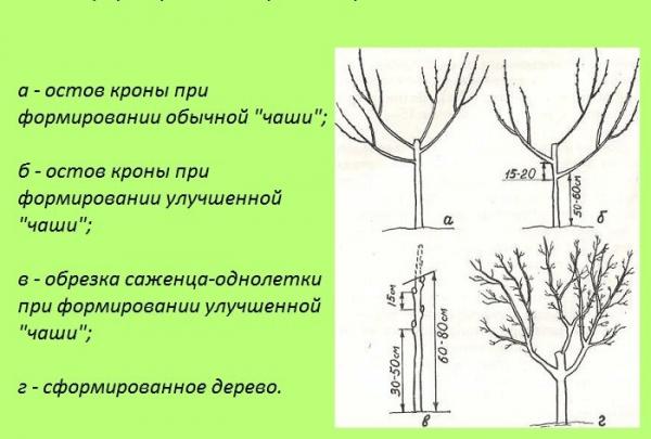 Формирование кроны яблони: схема, советы для начинающих