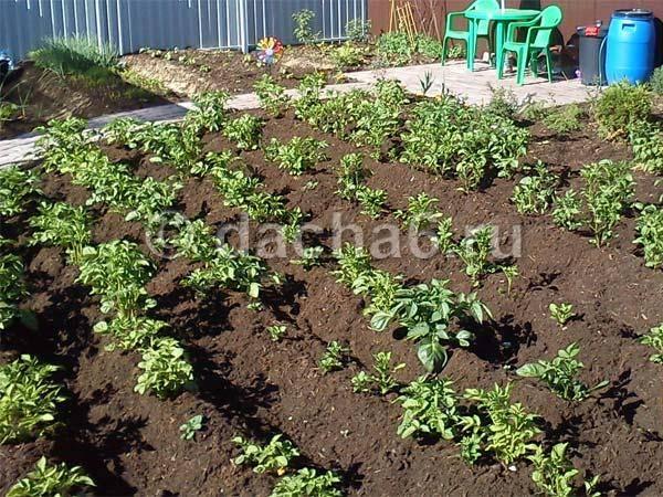 Правильная посадка и выращивание картошки по методу кизимы | топфазенда