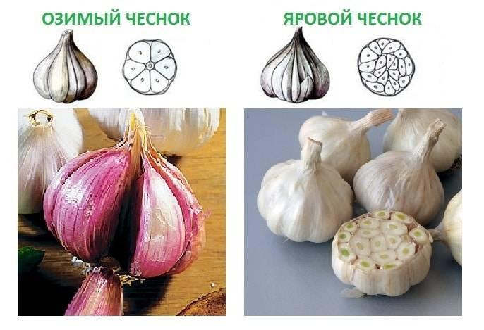 Когда убирать зимний чеснок в сибири и яровой с грядок на хранение: что влияет на срок, когда выкапывать летний и посаженный осенью овощ