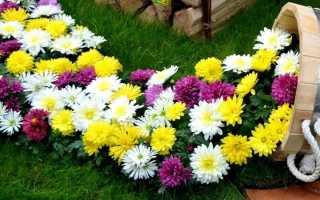 Как сохранить хризантемы зимой в горшках