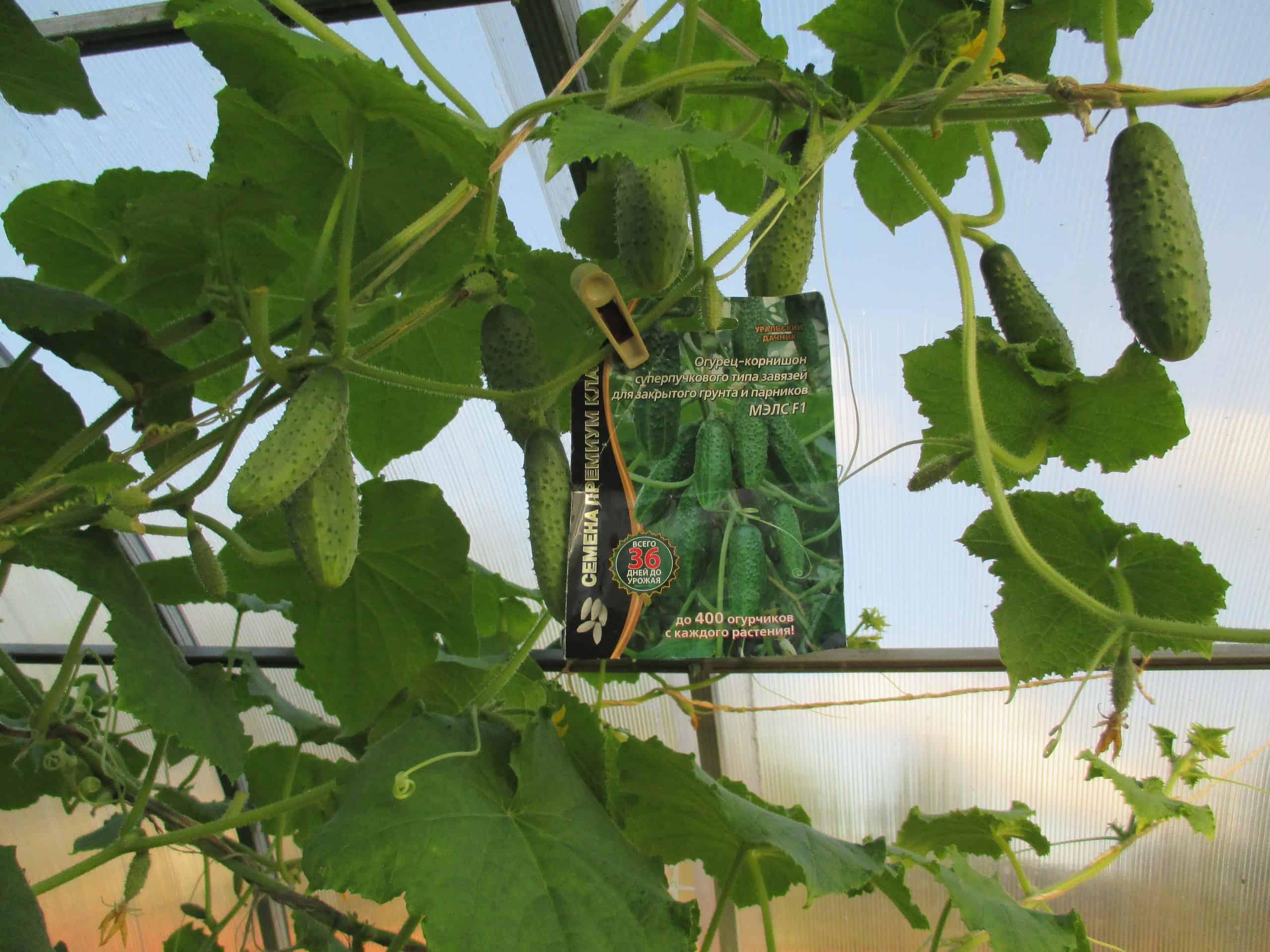 Думаете, огурцов много не бывает? тогда вы не выращивали суперпучковые гибриды - огород, сад, балкон - медиаплатформа миртесен